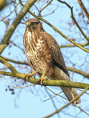 Common buzzard - In the Netherlands