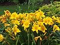 Butter Yellow Daylily.jpg