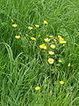Buttercup on Otmoor - geograph.org.uk - 180731.jpg