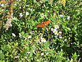 Butterfly 10 at St Marks NWR.JPG