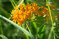 Butterfly Weed (Asclepias tuberosa) (18616740594).jpg