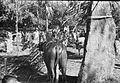 COLLECTIE TROPENMUSEUM Karbouwen op een offerplaats tijdens een dodenfeest van de Toraja in een dorp bij Rantepao TMnr 10029366.jpg