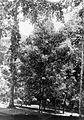 COLLECTIE TROPENMUSEUM Kruidnagelbomen (Eugenia aromatica) en links Gouroupita guianensis in 's Lands Plantentuin te Buitenzorg Java TMnr 10012308.jpg