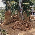 COLLECTIE TROPENMUSEUM Verpakking van de geoogste cassave in jute zakken TMnr 20018435.jpg