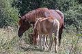 Cabalos en Canillo. Andorra.jpg