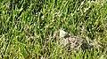 Cabbage White (Pieris rapae) - Guelph, Ontario.jpg