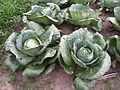 Cabbage fertilized with compost and urine (15470416069).jpg