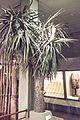 Cabbage tree, reconstruction, Canterbury Museum, 2016-01-27.jpg