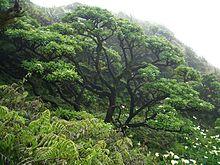 220px-Cabbage_trees.jpeg