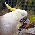 Cacatua galerita eating.jpg