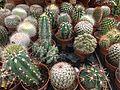 Cactus Dubai 04.jpg