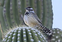 Perched atop a saguaro in Sabino Canyon, Arizona