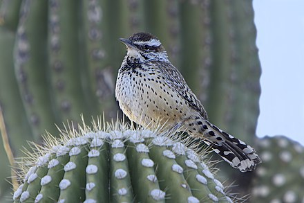 In Sabino Canyon, Arizona Cactus Wren on a saguaro cactus.jpg
