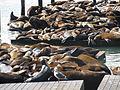 California Sea Lions IMG 4559.JPG