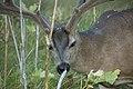 California mule deer (Odocoileus hemionus californicus).jpg