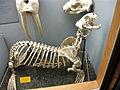 Callorhinus ursinus skeleton.jpg