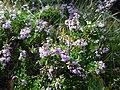Calluna vulgaris Mont Aigoual.jpg