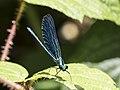 Calopteryx virgo - Beautiful Demoisell 01.jpg