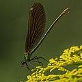Calopteryx virgo 01a(js), Lodz (Poland).jpg