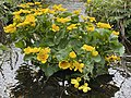 Caltha palustris Marsh-marigold kingcup (bekkeblom soleihov) wetland brook (våtmark bekk) Pirane, Hvasser, Oslofjorden, Norway 2021-05-13 IMG 9479.jpg
