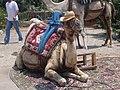 Camel (1938988116).jpg