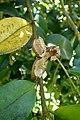 Camellia oleifera kz6.jpg