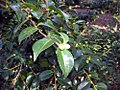 Camellia sasanqua Mine-no-yuki 1zz.jpg