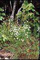 Campanula aparinoides 2-eheep (5097803702).jpg