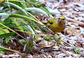Cape Canary, Serinus canicollis, male at Kirstenbosch (8236010238).jpg