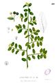 Capparis sepiaria Blanco1.209.png