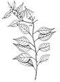 Capsicum eximium.jpg