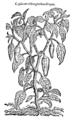 Capsicum oblongioribus siliquis 704 Dodoens 1583.png