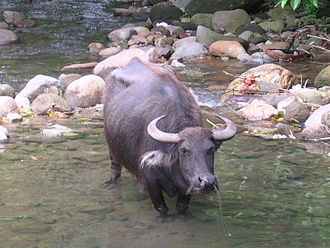 Carabao - A carabao in the Philippines