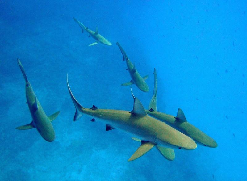File:Carcharhinus amblyrhynchos kure atoll.jpg