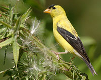 Willow goldfinch / Cadernera americana
