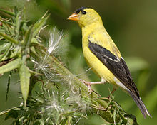 A yellow bird with black wings perches on a green plant