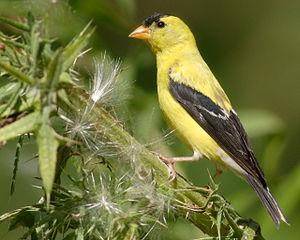 American Goldfinch Carduelis tristis, Fort Eri...