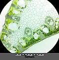 Carex acutiformis sl26.jpg