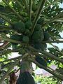 Carica papaya IMG 4067.jpg
