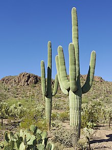 Carnegiea Gigantea In Saguaro National Park Near Tucson Arizona During November 58