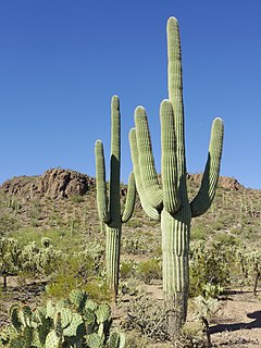 Saguaro species of plant