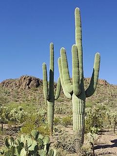 Saguaro Species of cactus in the Sonoran Desert