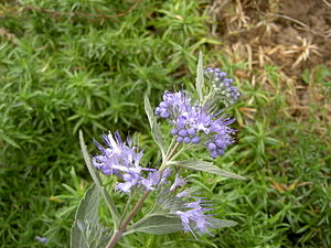 Clandon-Bartblume (Caryopteris ×clandonensis 'Heavenly Blue')