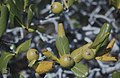 Casasia clusiifolia. 7 year apples. Little San Salvador. (27093708579).jpg