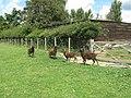 Castle Moorit sheep on footpath to Marlpost Farm - geograph.org.uk - 1417408.jpg