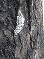 Catalpa Worm With Eggs.jpg