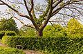 Catalpa bignonioides. Locatie Hortus Haren 02.jpg