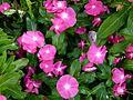 Catharantus roseus.jpg
