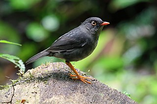 Slaty-backed nightingale-thrush species of bird