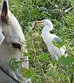 Cattle Egret feeding on mouse by Dr. Raju Kasambe DSCN2590 (3).jpg